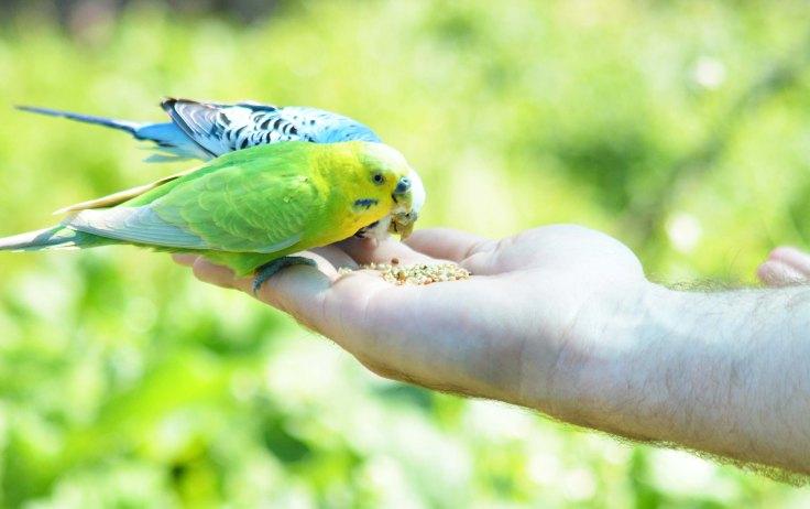 perruches dans la main