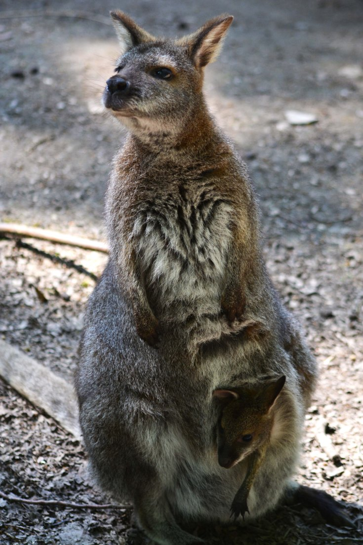wallabi